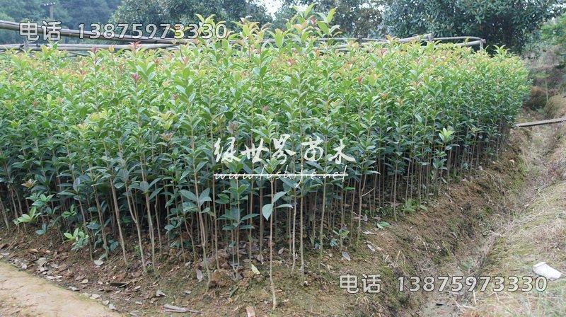 1米高丹桂苗,湖南1米高丹桂苗,1米高丹桂苗供应商-湖南长沙苗木