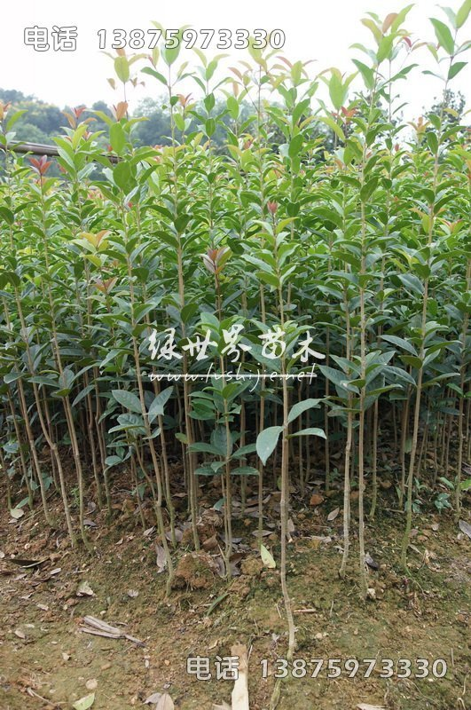 1.5米高丹桂,湖南1.5米高丹桂,1.5米高丹桂供应商-湖南长沙苗木