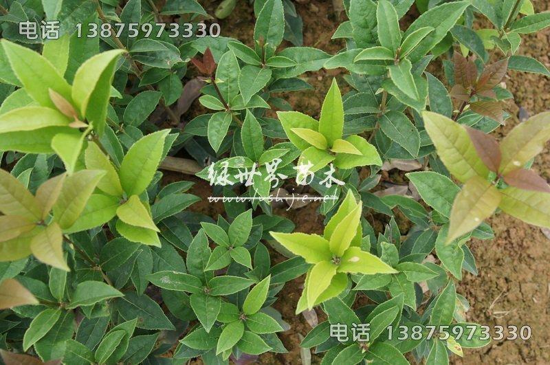 丹桂树苗,湖南丹桂树苗,丹桂树苗供应商-湖南长沙苗木