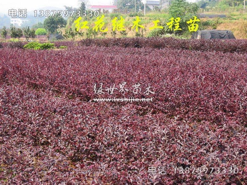 红花继木工程苗
