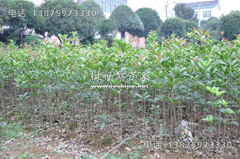 80-1米高丹桂苗