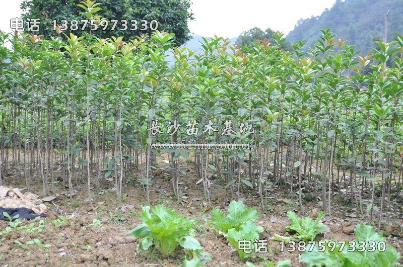 1米高丹桂苗